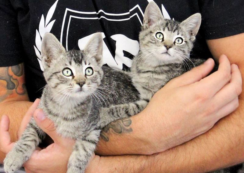 Two Grey Tabby Kittens Being Held in a Mans Arms